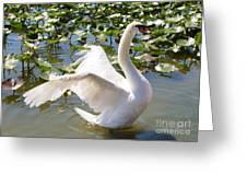 Mute Swan Wings Greeting Card