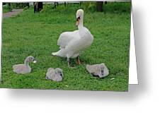 Mute Swan With Cygnets Greeting Card