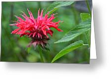 Mystical Bee Balm Greeting Card