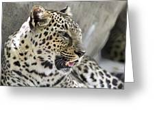 Naples Zoo - Leopard Relaxing 1 Greeting Card