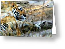 Naptime For A Bengal Tiger Greeting Card