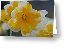 Narcissus 014-1 Greeting Card