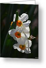 Narcissus Evening Glow Greeting Card
