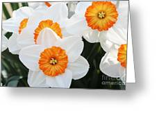 Narcissus Parkdene #2 Greeting Card