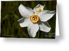 Narcissus Poeticus Greeting Card