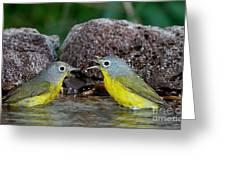 Nashville Warblers Vermivora Ruficapilla Greeting Card