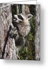 Nasty Raccoon In A Tree Greeting Card
