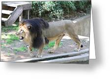 National Zoo - Lion - 011311 Greeting Card by DC Photographer