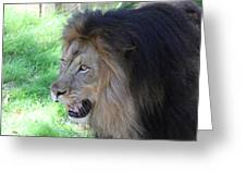 National Zoo - Lion - 011312 Greeting Card by DC Photographer