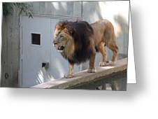 National Zoo - Lion - 01138 Greeting Card