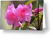 Native Roseshell Azalea Greeting Card