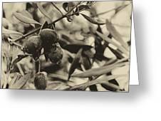 Nazareth Olives Israel Antiqued Greeting Card