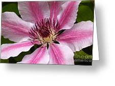 Nelly Moser Clematis Close Up Greeting Card