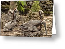Nesting Brown Pelicans Greeting Card