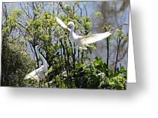 Nesting Great Egrets Greeting Card