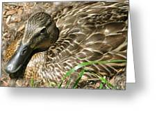 Nesting Mallard Greeting Card
