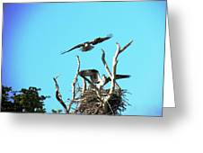 Nesting Ospray Greeting Card by Will Boutin Photos