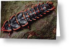 Net-winged Beetle  Borneo Greeting Card