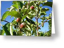 New Apples Greeting Card