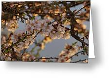 New Blossoms - Old Almond Tree Greeting Card