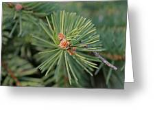 New Blue Spruce Buds Greeting Card