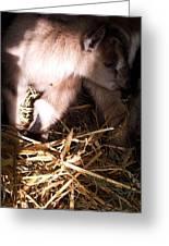 New Born Baby Goat Greeting Card by Nickolas Kossup