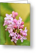 New Lilacs Greeting Card