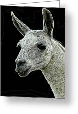 New Photographic Art Print For Sale   Portrait Of  Llama Against Black Greeting Card
