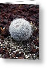 New Photographic Art Print For Sale White Ball Cactus Greeting Card