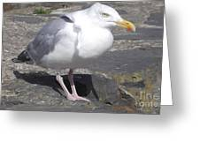New Quay Gull 1 Greeting Card