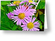 New York Asters In Flower's Cove-newfoundland Greeting Card