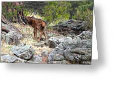 Newborn Elk Calf Greeting Card