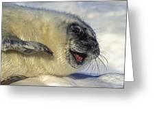 Newborn Gray Seal Pup Halichoerus Greeting Card