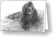 Newfoundland Dog Pencil Portrait Greeting Card