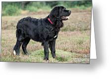 Newfoundland Dog, Standing In Field Greeting Card