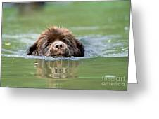 Newfoundland Dog, Swimming In River Greeting Card