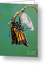 Newly-emerged Monarch Butterfly Greeting Card