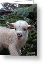 Nigerian Baby Goat 3 Of 8 Greeting Card
