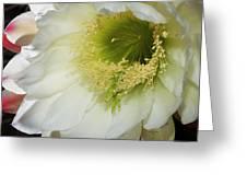 Night Blooming Cereus Cactus Greeting Card