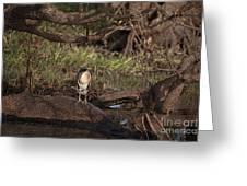 Night Heron At Corroboree Billabong Greeting Card