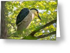 Night Heron At Rest Greeting Card