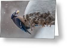 Blue Jay Finds A Peanut Greeting Card