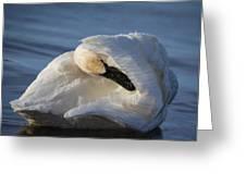 Swan Tuck Greeting Card