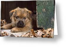 Norfolk Terrier Puppy By Barn Door Greeting Card