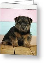 Norfolk Terrier Puppy Dog, Sitting Greeting Card