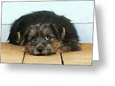 Norfolk Terrier Puppy Greeting Card