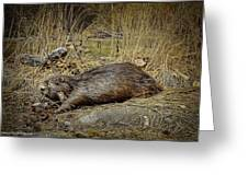 North American Beaver Greeting Card