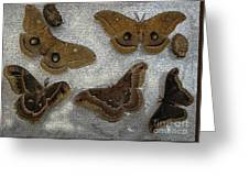North American Large Moth Collection Greeting Card