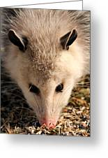 North American Opossum In Winter Greeting Card