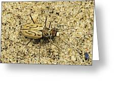 Northern Beach Tiger Beetle Marthas Greeting Card